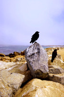 Two ravens on the the rocky costline