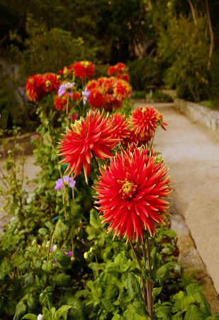 Red Dahlias at Monterey State Park