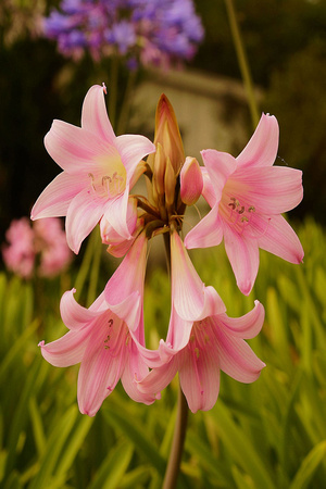 Naked Ladies at Monterey State Park